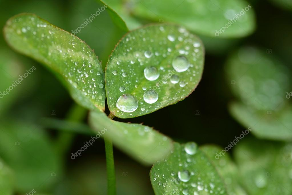 A macro shot of beautiful clover on green background  Stock Photo #15735059