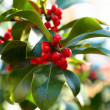 Sprig of European holly (Ilex aquifolium) - Stock Photo