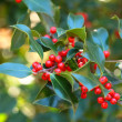 Sprig of European holly (Ilex aquifolium) — ストック写真