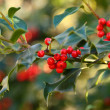 Sprig of European holly (Ilex aquifolium) — Stock Photo