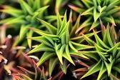 Closeup of aloe vera plant — Stock Photo