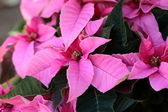 Pink Poinsettia (euphorbia pulcherrima) — Stock Photo