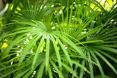 Green palm leaves in jungle — Stock Photo