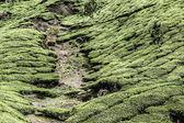 Landscape of green tea plantations. Munnar, Kerala, India — Stock Photo