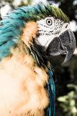 Mavi ve sarı amerika papağanı portre — Stok fotoğraf