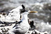 A Crested Tern on the beach of Rottnest Island, Western Australia. — Stock Photo