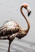Pink flamingo — Stock fotografie