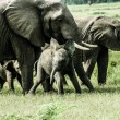 Young African elephant in Zambia — Stock Photo