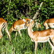 Impalas in Masai Mara - Kenya — Stock Photo