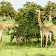 Masai giraffes in Serengeti national park — Stock Photo