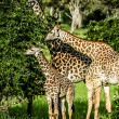 Stock Photo: Masai giraffes in Serengeti national park