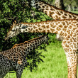 Masai giraffes in Serengeti national park — Stock Photo #18334973