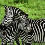 Постер, плакат: Zebras over green background in Zambia