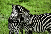 Zebras over green background in Zambia — Stock Photo