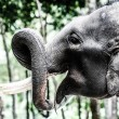 Asians elephants in thailand circus. — ストック写真 #18346225