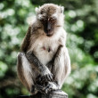 Monkey sitting on tree, Phuket, Thailand — Stok Fotoğraf #18357891