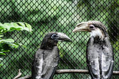 Wreathed Hornbill stand on the branch — Stock Photo