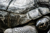 Mature tortoise walking on grass — Stock Photo