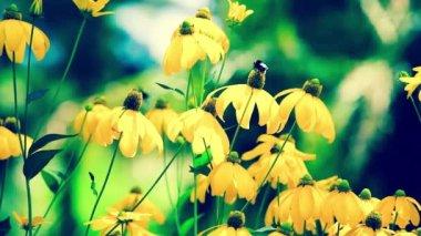 Rudbeckias black eyed susan flowers in garden — Stock Video