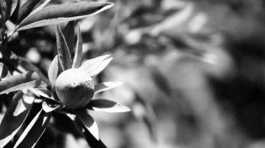 Mature lemons on tree. — Stock Video
