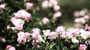 Beautiful small roses on green background — Stock Video