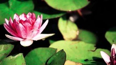 Lotus flower vinobraní pozadí — Stock video