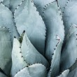 Sharp pointed agave plant leaves bunched together. — ストック写真
