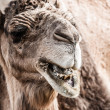 Arabian camel or Dromedary (Camelus dromedarius) in the Sahara Desert, Morocco.  — Stock Photo