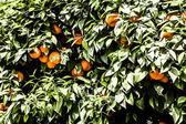 Oranje bomen met fruit op de plantage, thailand — Stockfoto