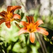 Two orange lily in green background — Stock Photo #18746965