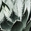 Sharp pointed agave plant leaves bunched together.  — Stock Photo