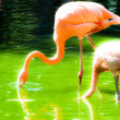 Pink flamingos against green background — Stock Photo