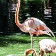 Pink flamingos against green background — Stock Photo #18748347