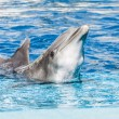 Dolphins swim in the pool — Stock Photo