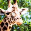 Giraffe (giraffa camelopardalis) in local zoo — Stock Photo