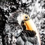 Toucan outdoor - Ramphastos toco — Stock Photo #18749127