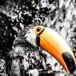 Toucan outdoor - Ramphastos toco — Stock Photo #18749135