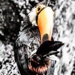 Toucan outdoor - Ramphastos toco — Stock Photo #18749153