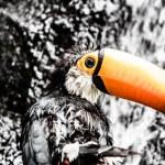 Toucan outdoor - Ramphastos toco — Stock Photo #18749171
