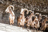 Two Spanish Ibex, male and female, lying on rocks — Stock Photo