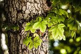 большой каштанов деревья в весеннее время — Стоковое фото