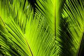 Hoja del árbol de palma verde como fondo — Stok fotoğraf