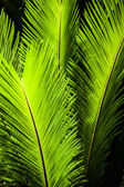 Green palm tree leaf as a background — Stock Photo
