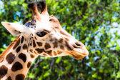 Giraffe (giraffa camelopardalis) in local zoo — Stock Photo