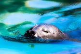 Close-up of a harbor seal coming out of the water with details on whiskers and wet fur. — Photo