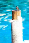 Small sparrow seatting close to pool — Stock Photo