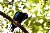 One of the most spectacular birds of the rain forest — Stock Photo