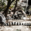 Ring-tailed lemur in dutch monkeypark - Stock Photo