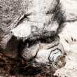 Stock Photo: Vietnamese pot-bellied pig. Sus scrofvar. domestica.