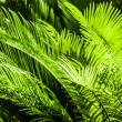 Stock Photo: Green palm tree leaf as background